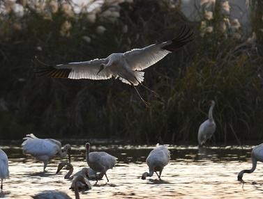 Kawasan Konservasi Burung di Tepi Danau Poyang