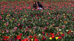 Dua orang berselfie diantara bunga tulip di Cornaredo, Italia, (29/3). Pasangan ini menanam 250.000 tulip dari 183 varietas yang berbeda untuk menciptakan tradisi Belanda. (AP/Antonio Calanni)