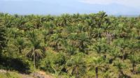 Berdasarkan data Dinas Pertanian dan Perkebunan provinsi itu per tahun 2019, kabupaten dengan Hak Guna Usaha (HGU) kebun kelapa sawit terluas di Aceh, yakni 71,661.53 hektare. (Liputan6.com/ Rino Abonita)