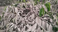 Gubernur Sumut, Edy Rahmayadi, mengaku telah menyiapkan beberapa skenario untuk mengurangi dampak debu vulkanik yang menyebabkan lahan pertanian milik warga rusak.