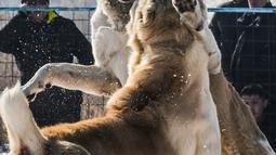 Dua Anjing Gembala Asia Tengah (Alabay) bertarung di arena pertarungan bersalju di Kota Bishkek, Kyrgyzstan (18/11). Sekitar 23 pemilik membawa anjing mereka dalam acara pertarungan untuk memperebutkan gelar juara. (AFP Photo/Vyacheslav Oseledko)