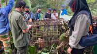 Seekor harimau masuk perangkap yang dipasang BKSDA Sumbar di Solok. Kondisi harimau itu sehat dan akan direhabilitasi di PRHS Dharmasraya. (Liputan6.com/ Dok. BKSDA Sumbar)