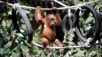 Anak orangutan diperlihatkan kepada publik setelah beberapa bulan dalam karantina di Taman Safari Bali, Kabupaten Gianyar, Senin (19/8/2019). Pihak berwenang pada 22 Maret lalu menangkap WN Rusia yang berusaha menyelundupkan anak orangutan berusia dua tahun itu di dalam koper. (SONNY TUMBELAKA/AFP)