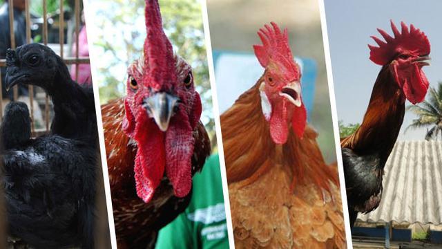 Ayam Termahal C Jpg