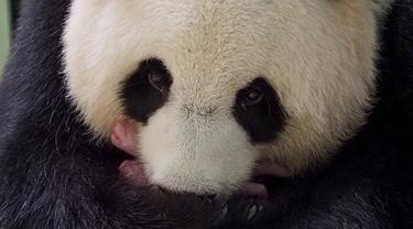 "Panda raksasa Huan Huan bersama anak kembarnya yang baru dilahirkan berada dalam kandang di Beauval Zoo, Saint-Aignan-sur-Cher, Prancis, 1 Agustus 2021. Huan Huan yang berarti ""Bahagia"" dalam bahasa China adalah panda betina yang dipinjamkan China ke ZooParc de Beauval. (Guillaume SOUVANT/AFP)"