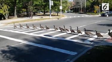 Sekelompok angsa menunggu lalu lintas berhenti sebelum neyeberang. Video ini direkam di depan Museum Isabella Gardner di Boston.