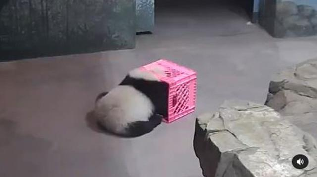 Anak panda Kebun Binatang Nasional di Washington (Screenshot of Instagram/@ smithsonianzoo)