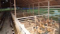 Kementerian Pertanian (Kementan) menyampaikan pengembangan itik di kawasan Food Estate berjalan cukup positif. (Dok Kementan)