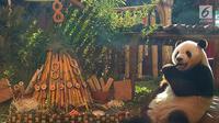 Panda Cai Tao keluar dari ruangan menuju tumpeng sebagai hadiah ulang tahunnya ke-8 dari pengelola Taman Safari Indonesia di Cisarua, Bogor, Jawa Barat, Sabtu (4/8/2018) sore. (Liputan6.com/Achmad Sudarno)