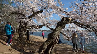 Orang-orang mengunjungi pohon sakura yang mekar penuh di Tidal Basin, Washington, Minggu (22/3/2020). Karena virus corona, otoritas National Mall and Memorial Parks meletakkan papan tanda peringatan kepada wisatawan untuk tetap menjaga jarak sosial antar pengunjung. (AP/Jacquelyn Martin)