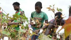 Sejumlah petani memanen kapas di ladang dekat Boromo, Burkina Faso, 19 Oktober 2021. Jutaan orang di Burkina Faso mengandalkan hidupnya dari kapas. (ISSOUF SANOGO/AFP)