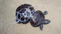 Kura-kura yang terjerat plastik (Sumber: huffpost)