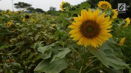Bunga matahari terlihat di sepanjang taman pinggir jalan aliran sungai Banjir Kanal Timur, Kawasan Cakung Jakarta, Kamis (16/5). Tanaman bunga matahari dibuat petugas merupakan inisiatif sendiri serta memanfaatkan lahan kosong sebagai sarana tanaman hidup. (merdeka.com/Imam Buhori)