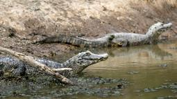 Kawanan buaya berada di sungai yang hampir mengering akibat kemarau berkepanjangan, di Paraguay, 24 Juni 2016. Perbatasan antara Paraguay dan Argentina tengah menghadapi kekeringan terburuk selama hampir dua dekade. (REUTERS/Jorge Adorno)