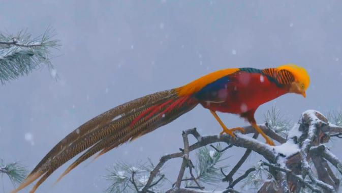 Burung phoenix merah asal China. Dok: Inkstone