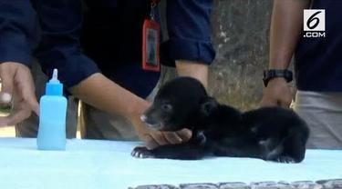 Taman Margasatwa Serulingmas Banjarnegara Jawa Tengah kedatangan penghuni baru. Seekor bayi beruang madu betina bernama Juliet.