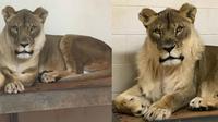 Bridget, singa betina di Kebun Binatang Oklahoma yang punya surai mirip jantan (Oklahoma City Zoo)
