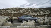 Sebuah mobil dikerumuni domba yang baru kembali merumput di pinggiran Tbilisi, Georgia, Rabu (11/11). Dalam setahun di Georgia mengalami 2 musim yang membuat domba dan peternaknya berpindah mencari rumput di tempat lain. (REUTERS / David Mdzinarishvili)