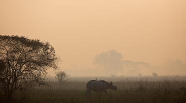 Seekor badak bercula satu berjalan di Suaka Margasatwa Pobitora di negara bagian Assam, India (18/3). Petugas hutan India melakukan sensus menyusul adanya lonjakan jumlah badak bercula satu di India. (AP Photo / Anupam Nath)