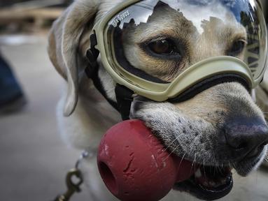 Frida, seekor anjing penyelamat milik Angkatan Laut Meksiko beristirahat saat mencari korban yang tertimbun reruntuhan bangunan pasca-gempa 7,1 Skala Ritcher (SR) yang menghantam Meksiko di sekolah Rebsamen di Mexico City (22/9). (AFP Photo/Omar Torres)