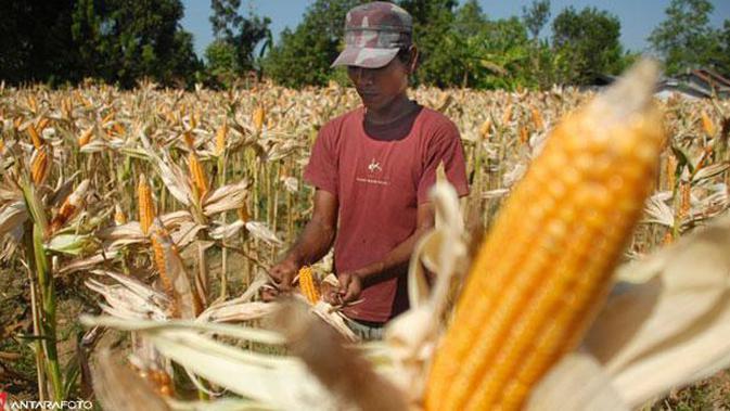 Gubernur Lampung, M Ridho Ficardo mengimbau petani beralih ke tanaman jagung sebagai respons jangka pendek akibat kejatuhan harga singkong.#source%3Dgooglier%2Ecom#https%3A%2F%2Fgooglier%2Ecom%2Fpage%2F%2F10000