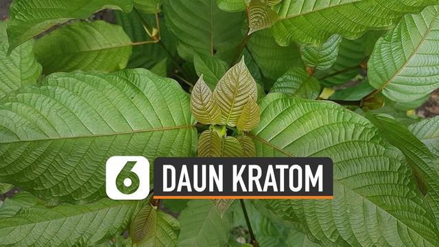 Daun kratom (Mitragyna speciosa) berasal dari pohon cemara tropis di keluarga kopi. Manfaat daun kratom sudah menyebar ke seluruh dunia.