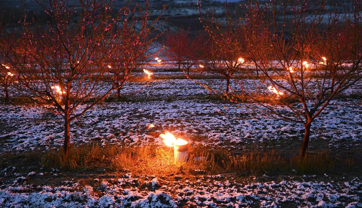 Lilin antiembun beku menyala untuk melindungi pohon dari embun beku di sebuah kebun karena suhu diperkirakan akan turun di bawah nol derajat celcius dalam beberapa hari ke depan di Westhoffen, Prancis, 6 April 2021. (Frederick FLORIN/AFP)