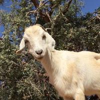 Kambing di Maroko dikenal suka memanjat pohon. (Youtube)