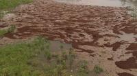 Koloni semut menyeberangi banjir akibat Badai Harvey di Houston, Texas. (Twitter Bill O'Zimmermann  @The_Reliant)