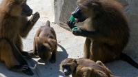 Kawanan kera memakan es berisi buah beku di Kebun Binatang Vincennes, Paris, Prancis, Kamis (2/8). Udara panas dari Afrika membawa gelombang panas menuju Eropa. (AP Photo/Michel Euler)