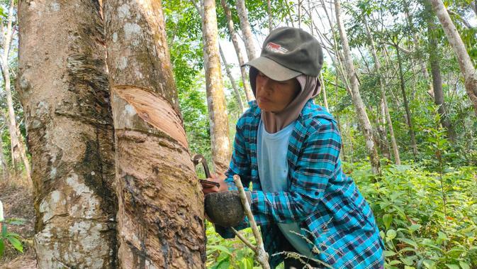 Fatim, warga Dusun Cawang Gumilar Musi Rawas Sumsel, saat menyadap karet milik warga (Liputan6.com / Nefri Inge)