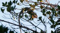 Sebuah iguana terletak di pohon, 22 Januari 2020, di Surfside, Fla. (Source: AP/Wilfredo Lee)