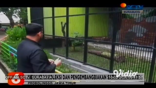 Pasangan singa afrika menjadi koleksi baru kebun binatang mini Taman Wisata Studi Lingkungan (TWSL) Kota Probolinggo. Kedua ekor singa ini merupakan hibah dari Taman Safari Indonesia 2 Prigen, Pasuruan.