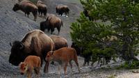 Bison di Yellowstone National Park, Wyoming pada 1 Juni 2011. (MARK RALSTON / AFP)