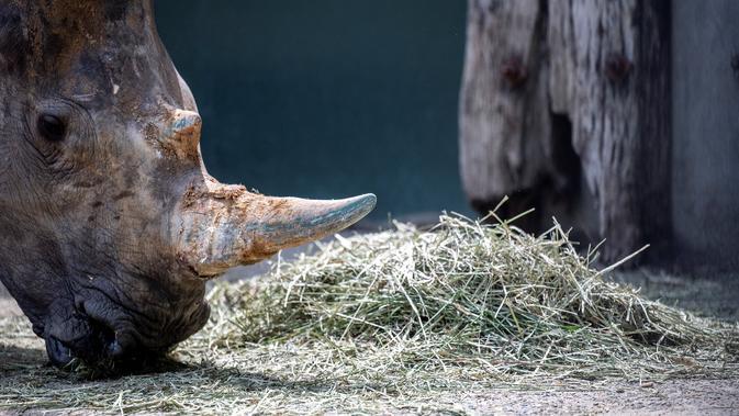Emma, badak putih betina berusia lima tahun, memakan rumput di Kebun Binatang Tobu, pinggiran Tokyo pada 11 Juni 2021. Ia dipilih dari sekelompok 23 badak lainnya untuk dikirim ke Jepang karena memiliki kepribadian yang lembut dengan staf mengatakan ia