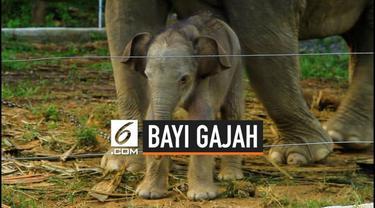 BKSDA Aceh menyatakan seekor gajah di Conservation Response Unit Alue Kuyun, Kabupaten Aceh Barat, melahirkan bayi berjenis kelamin betina. Para pawang gajah memberi nama Yuyun.