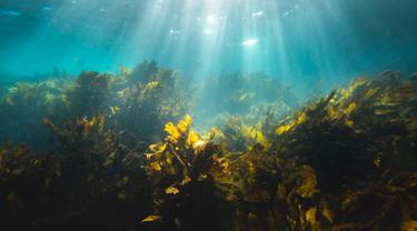 Fungsi Rumput Laut dalam Perang Melawan Perubahan Iklim