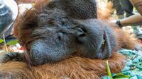 Tim gabungan Wildlife Rescue Unit (WRU) Balai KonservBKSDA Kalimantan Barat, Seksi Konservasi Wilayah (SKW) I Ketapang, dan IAR Indonesia, kembali melakukan translokasi satu individu orangutan jantan dewasa. (Liputan6.com/ Aceng Mukaram)