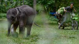 Pesepeda motor melintas dekat bayi gajah di Pusat Latihan Gajah, Saree, Aceh, Sabtu (23/8). Kondisi luka pada kaki bayi gajah akibat terkena jerat pada awal Mei 2018 lalu itu terus membaik dan tinggal menunggu proses penyembuhan. (AFP/CHAIDEER MAHYUDDIN)
