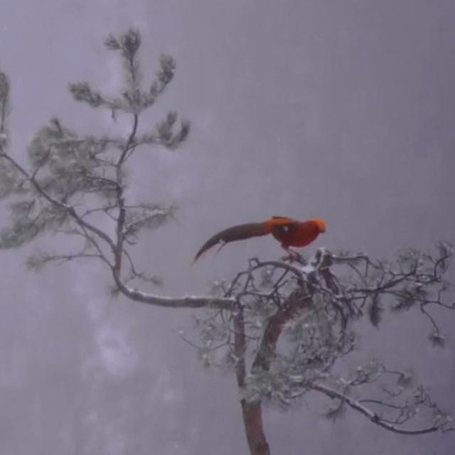 Burung Phoenix Merah Langka Terlihat Menikmati Salju Di China Global Liputan6 Com