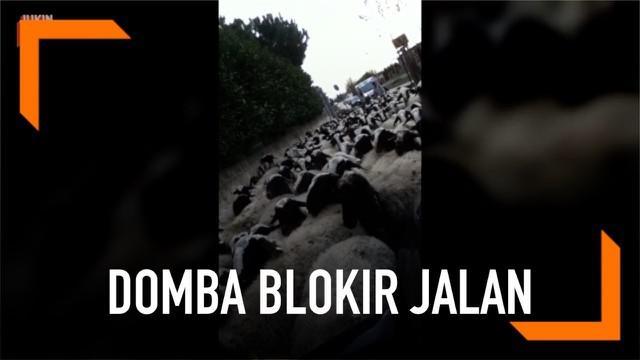 Aksi kawanan domba yang blokir jalan di Naples, Italia, terekam kamera seorang pengendara mobil. Akibatnya, para pengendara mobil pun terjebak dan tak dapat melanjutkan perjalanannya.