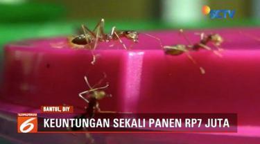 Tak hanya mengandalkan subsidi pemerintah, sebuah Sekolah Luar Biasa (SLB) di Bantul juga lakukan ternak semut rangrang untuk penuhi biaya operasional sekolah.