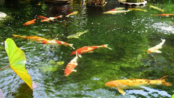 Unduh 50 Koleksi Gambar Kolam Ikan Bergerak HD Gratis