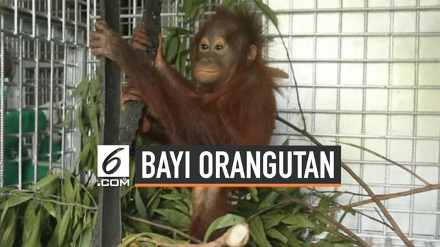 International Animal Rescue Indonesia melakukan evakuasi terhadap bayi orangutan berusia 1 tahun. Evakuasi dilakukan dari Dusun II Ampon, Desa Krio Hulu, Kecamatan Hulu Sungai, Kabupaten Ketapang, Kalimantan Barat.