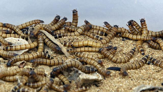 Sejumlah cacing super terlihat di peternakan Jassem Buabbas, Kabad, Kuwait, 20 Mei 2021. Diperkirakan sebanyak 1.000 spesies serangga muncul di piring makan sekitar dua miliar orang di Afrika, Asia, dan Amerika Latin. (YASSER AL-ZAYYAT/AFP)