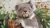 Koala Victoria (dok.guinness world records)