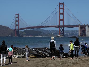 Membusuk di Pantai California, Paus Bungkuk Jadi Tontonan Warga