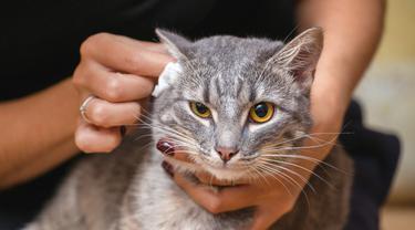 Ilustrasi membersihkan telinga kucing