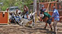 Buaya Krakatau di Queensland, Australia, masih belum mantap untuk kawin di tengah pandemi COVID-19. Dok: ABC Australia