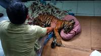 Anak Harimau Sumatera yang ditemukan warga Bengkalis, Riau, di kebun karet, akhirnya mati setelah dirawat hampir 12 jam oleh petugas. (Liputan6.com/M Syukur)